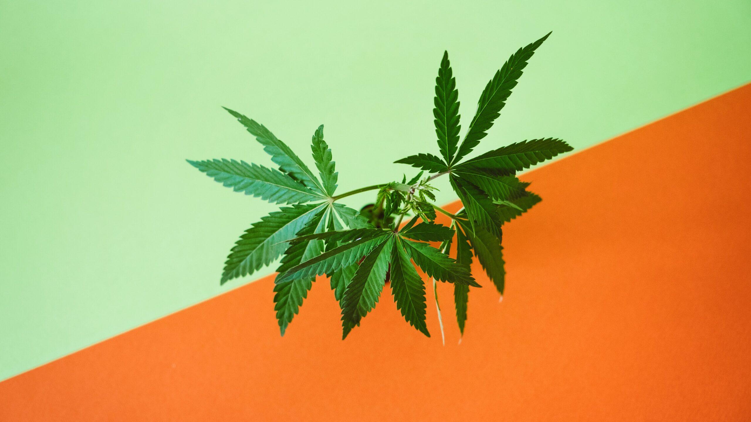 La cannabis legale sul web