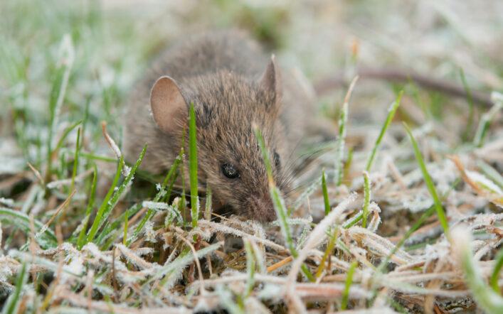 Come difendersi al meglio dai topi